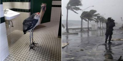 Cigüeña se resguarda en el baño de un zoológico por el huracán Matthew