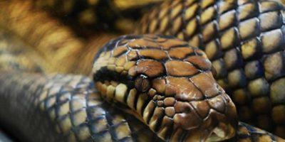 Video: Busca a su perro y lo encuentra devorado por serpiente