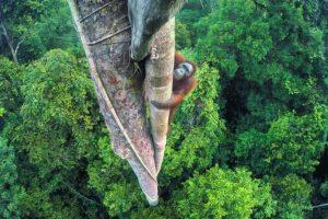1- Ganador del gran título. Vidas entrelazadas. Alto en el tronco, un joven orangután macho vuelve para disfrutar de los higos frescos. Tim Laman, EE.UU. Foto:MWN