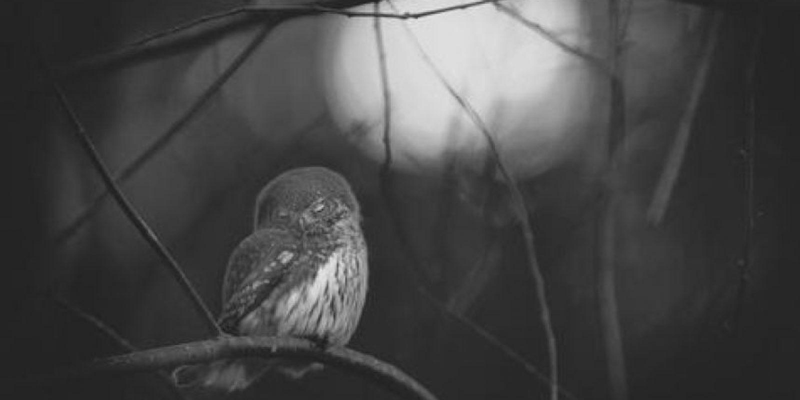 3- Blanco y negro. Requién por un búho En la primera luz del alba, Mats Andersson utiliza blanco y negro y atrapa el momento melancólico que siguió a la muerte del compañero de este búho enano. Mats Andersson, SUECIA Foto:MWN