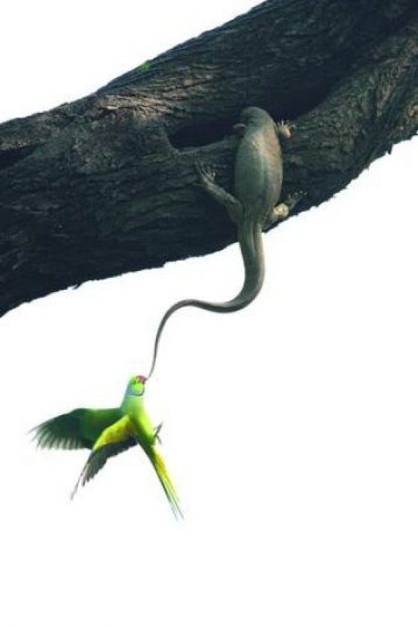5- Aves. Intento de desalojo. Los periquitos no quedaron impresionados al ver que un lagarto monitor de Bengala se había asentado en su nido. Y se pusieron inmediatamente a tratar de desalojar al ocupante, mordiendo y colgándose de su cola. Ganesh H Shankar, India Foto:MWN
