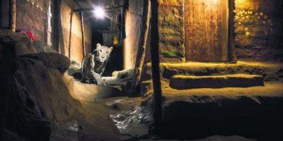 """6- Urbano. El """"gato"""" en el callejón Con el aumento de los conflictos entre humanos y leopardos en los titulares, Nayan Khanolkar se decidió a demostrar que las cosas podrían ser diferentes. Después de cuatro meses, finalmente capturó esta coexistencia leopardo-humana única, cuando el gato grande se abrió paso en silencio a través del callejón. Nayan Khanolkar, India Foto:MWN"""