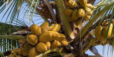 Muere anciano al caerse de una mata de coco