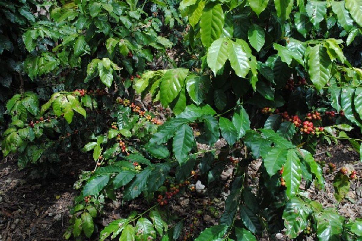 El café, no solo es el producto agrícola que predomina en esta región del país; es la fuente de esperanza que sus comunitarios para tener una mejor vida. Foto:Nolberto Batista