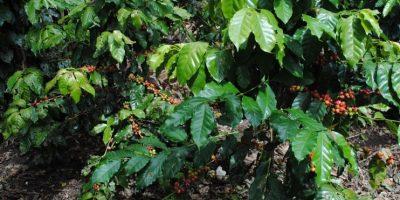 En Hondo Valle y Juan Santiago está lloviendo café