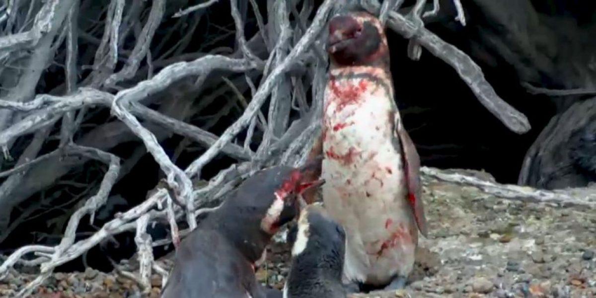 Video: Pingüinos pelean brutalmente después de descubrir infidelidad