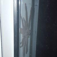 Esta imagen en Reddit se hizo viral. Es una araña cazadora de gran tamaño que se escondía en una casa. No es peligrosa para los humanos, pero se compartió miles de veces. Foto:vía Reddit.