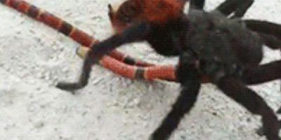 Pero hay arañas más mortíferas. Foto:vía Wikipedia