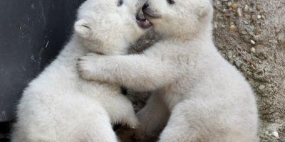 De acuerdo al Servicio Geológico de Estados Unidos, en el año 2050 podrían desaparecer dos terceras partes de todos los osos polares Foto:Getty Images