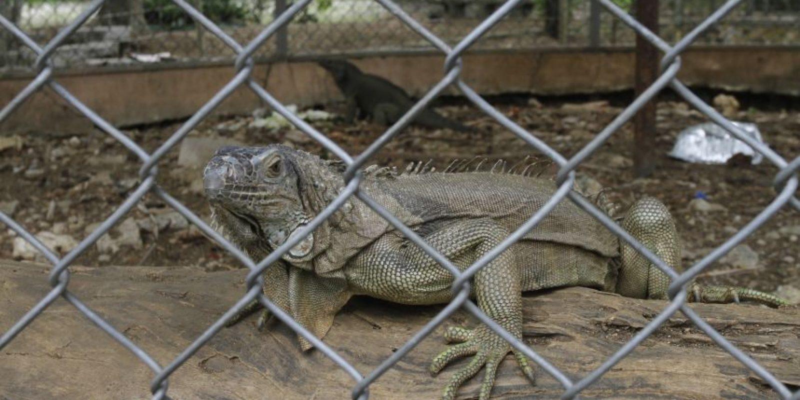 Esta iguana es parte de los atractivos que aún conserva el parque. Foto:Roberto Guzmán