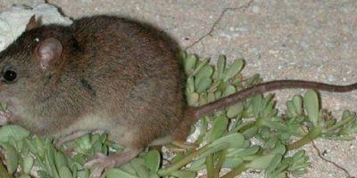 Primer mamífero extinguido por cambio climático