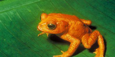 El sapo dorado de Costa Rica es la primera víctima reconocida decalentamiento global. Foto:Wikipedia commons