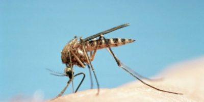 Los productos fueron probados utilizando una mano humana como atrayente en una configuración olfatómetro y un tubo con Aedes aegypti y Aedes albopictus, los dos principales insectos que contagian enfermedades a los humanos Foto:Getty Images