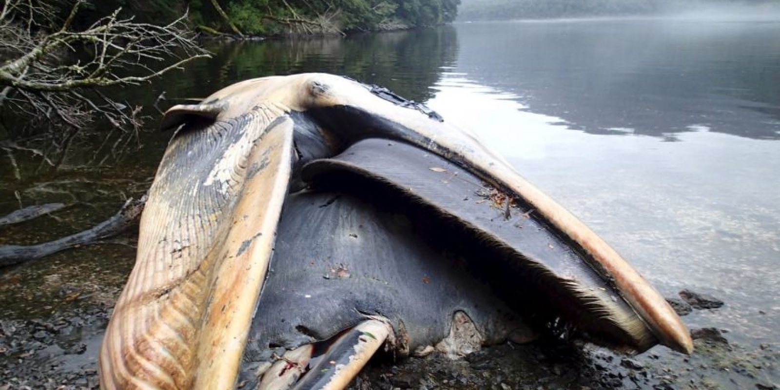 Científicos investigan lo que ocasionó la muerte de estas 337 ballenas. Foto:AP