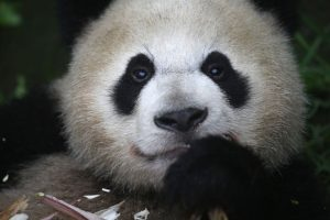 Los pandas gigantes miden unos 150 centímetros de largo Foto:Getty Images