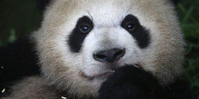 Qizai: El panda marrón víctima de bullying enternece en redes sociales