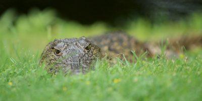 Las autoridades creen que mientras escapaba se descuido y se volvió presa del reptil. Foto:Getty Images