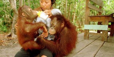 Rescatan a orangután que pasó un año encadenado entre dos casas