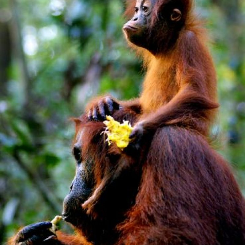 La palabra malaya orangután significa persona del bosque. Foto:Getty Images