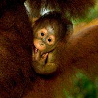 Estos primates anaranjados y de pelo largo, presentes nicamente en Sumatra y Borneo, son muy inteligentes y están estrechamente emparentados con los humanos. Foto:Getty Images