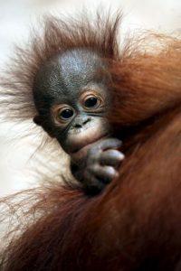 Cuando un orangután está de pie, sus manos casi tocan el suelo. Foto:Getty Images
