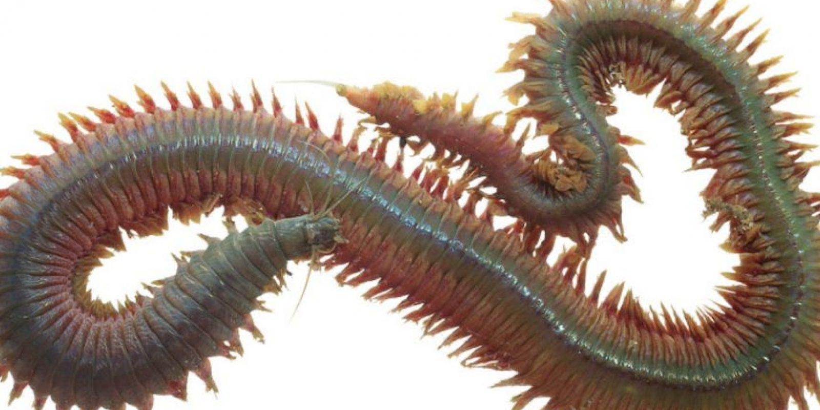 8. Neirididade. Es otro gusano submarino. Foto:vía RealMounstrosities