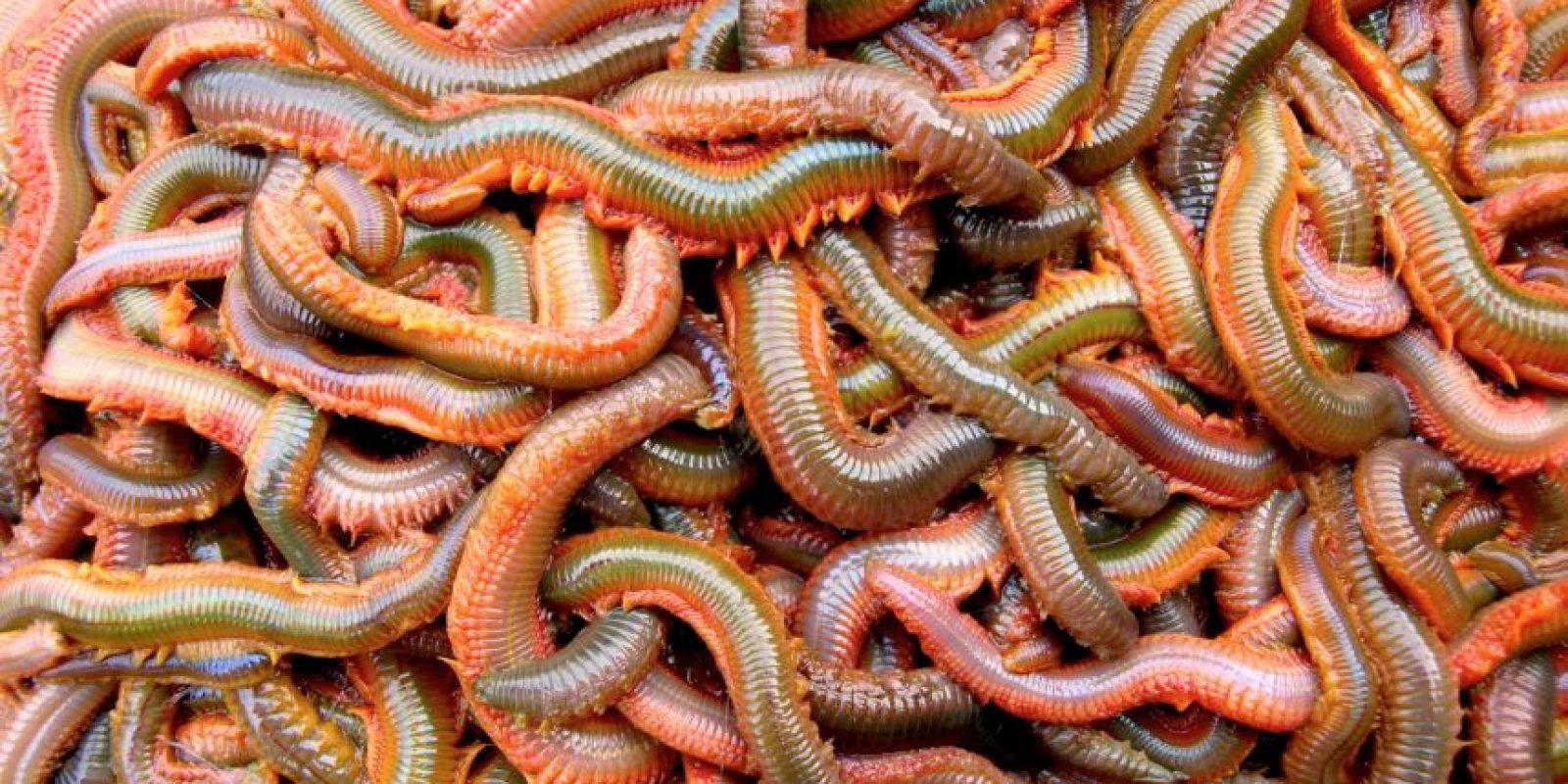 Son omnívoros. Se reproducen una vez en la vida y se los comen las aves costeras. Foto:vía RealMounstrosities