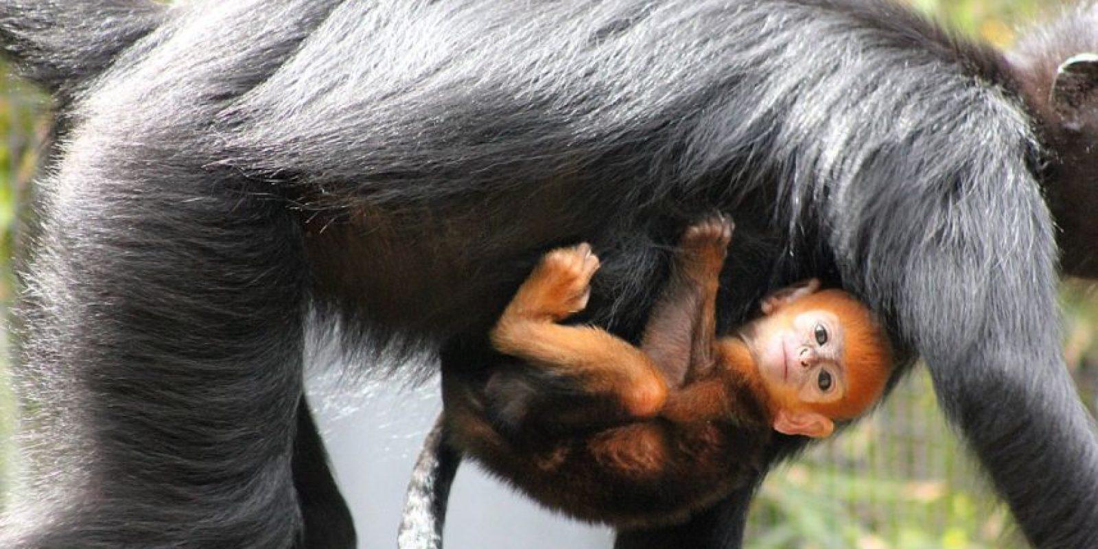 Es hijo de Meili, quien en 2011 dio a luz otro mono naranja. Foto:Vía Facebook.com/tarongazoo