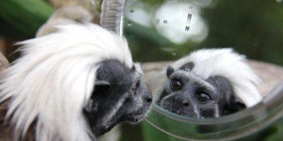 Tití cabeciblanco Foto:Vía Facebook.com/tarongazoo