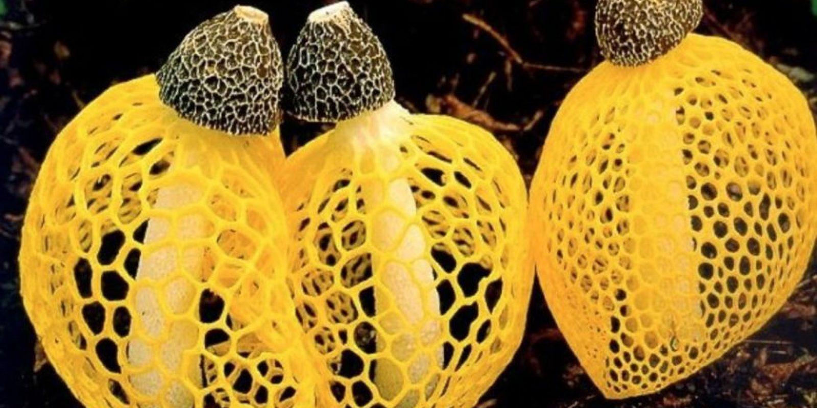 Este es el hongo Dictyophora o cucumelo Foto:Wikimedia