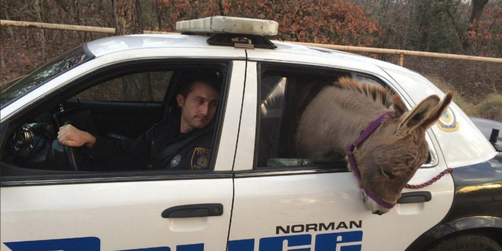 El animal se había escapado y andaba rondando en las calles de Norman, Oklahoma Foto:Vía facebook.com/City-of-Norman-OK-Police-Department