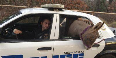 """Policía estadounidense """"detiene"""" a un burro"""