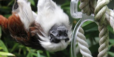 Su blanco pelaje es comparado con el algodón. Foto:Vía Facebook.com/tarongazoo