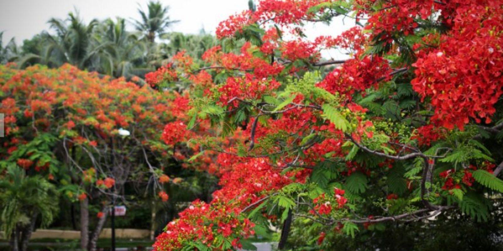 El período de germinación de un flamboyán oscila entre siete y 12 días. Según las condiciones ambientales puede iniciar su floración a los tres o cinco años y llega a alcanzar hasta 12 metros de altura.
