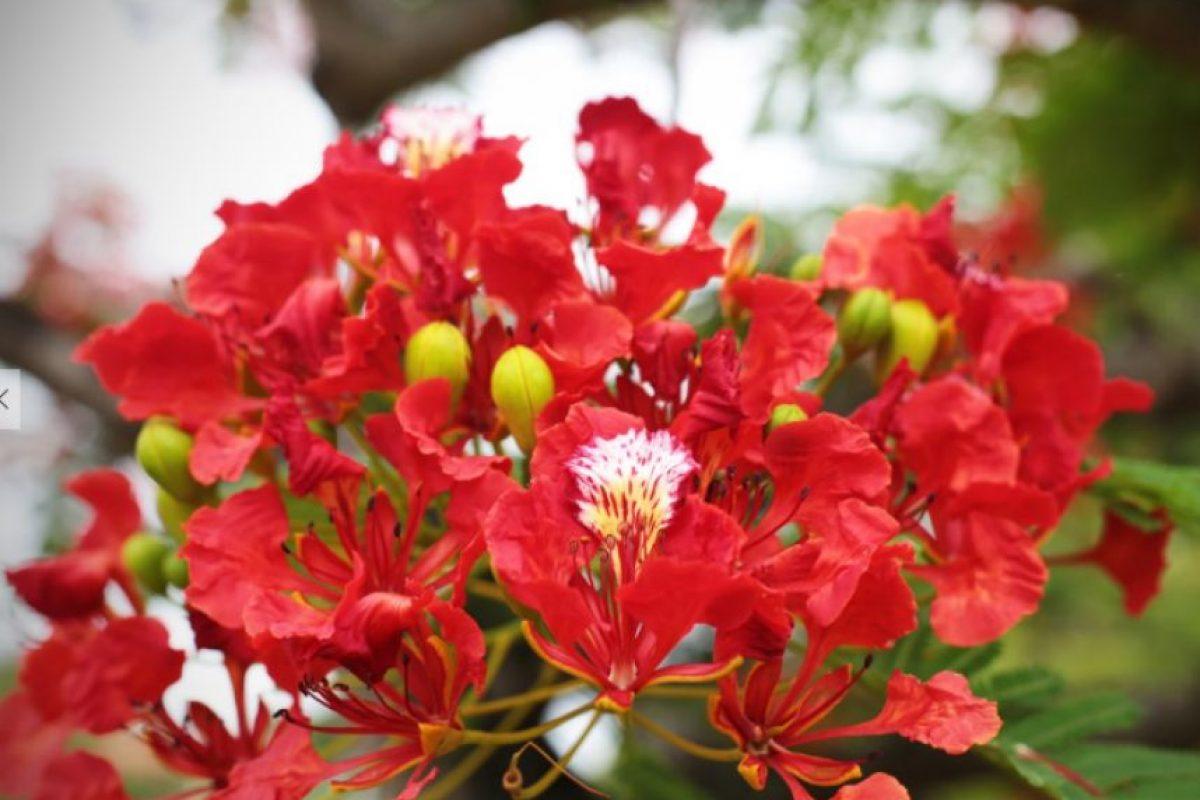 El período de germinación de un flamboyán oscila entre siete y 12 días. Según las condiciones ambientales puede iniciar su floración a los tres o cinco años y llega a alcanzar hasta 12 metros de altura. Foto:Roberto Guzmán