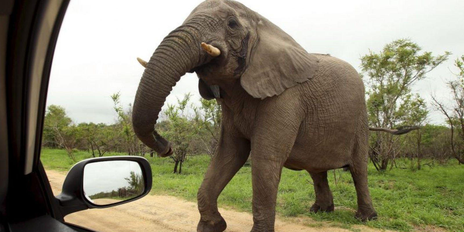 El elefante africano es el más grande de todos los mamíferos terrestres Foto:Getty Images