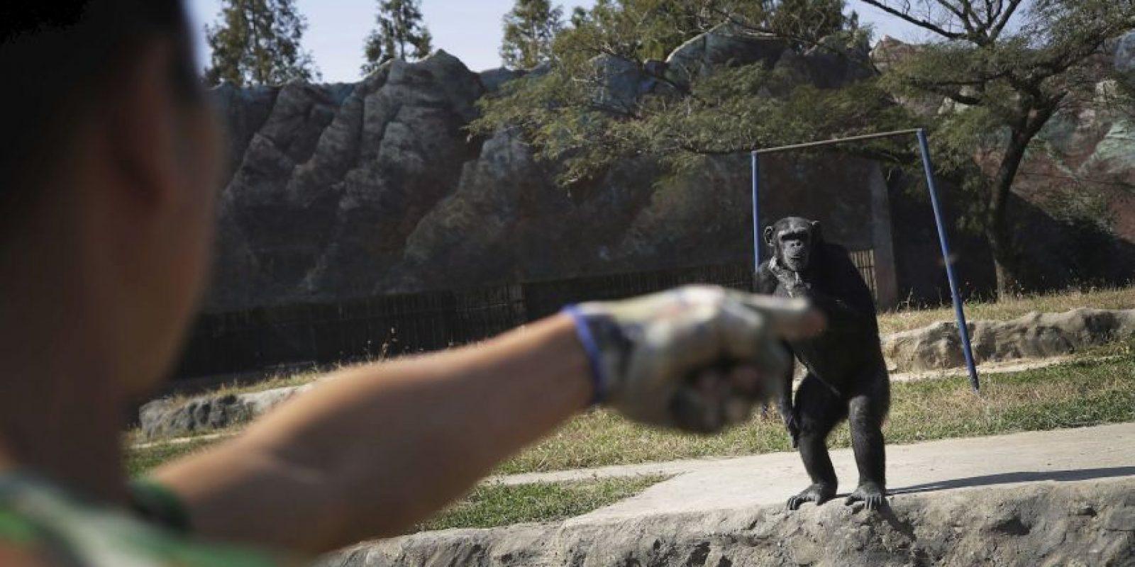 Es la principal atracción del zoológico Central Foto:AP