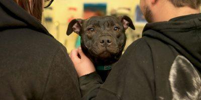 El Staffordshire Bull Terrier es una raza de perro originaria del Reino Unido, con más de 200 años de antigüedad Foto:Getty Images
