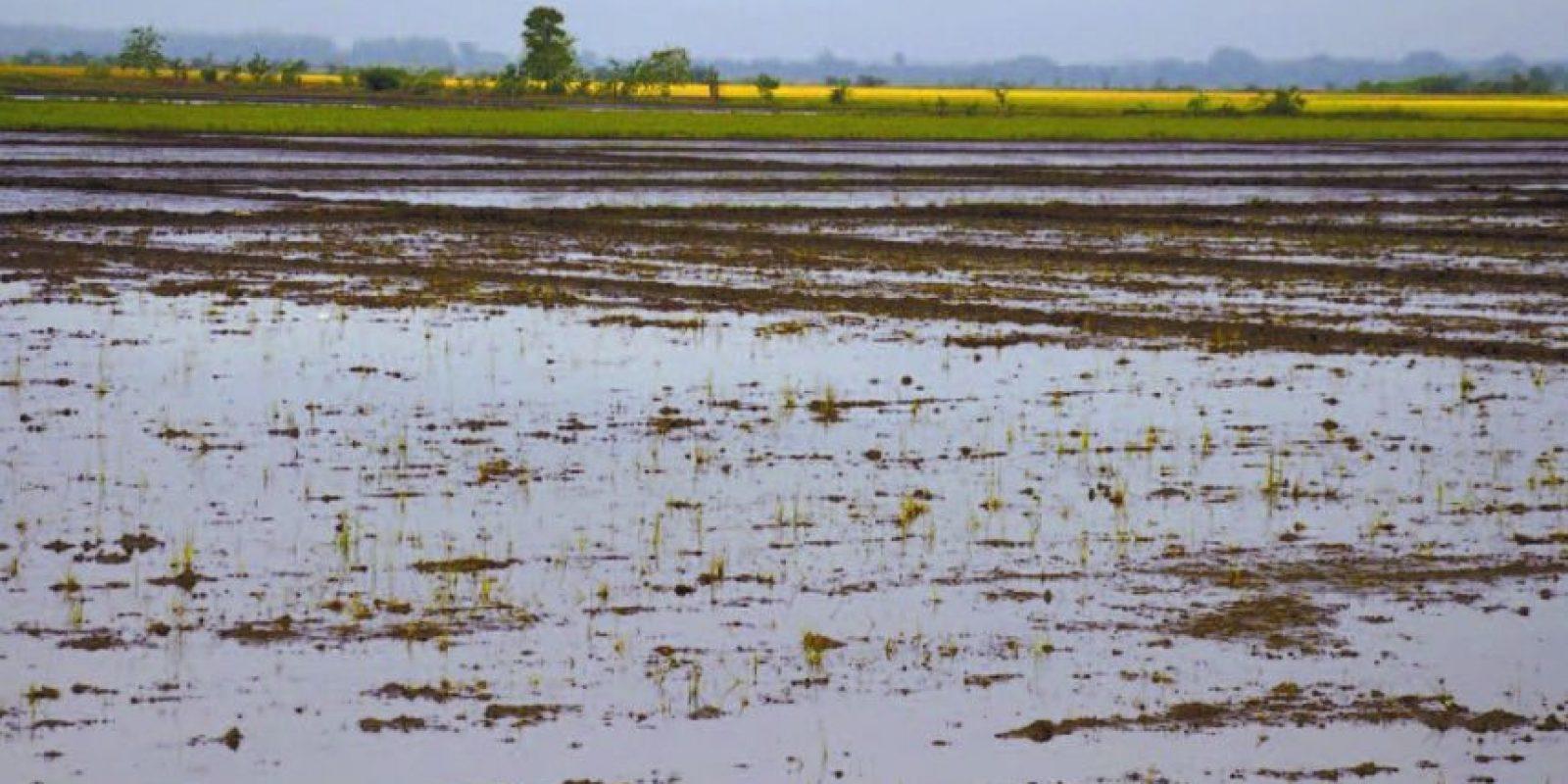 Tareas sembradas de arroz inundadas por lluvias en Bajo Yuna Foto:Fuente externa