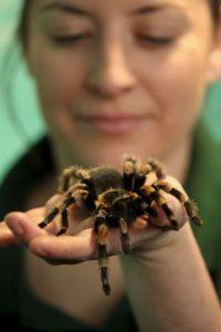 Normalmente las arañas devoran a sus propias presas, pero lo curioso sobre algunas arañas, es que aprovechan los insectos que quedaron atrapados en telarañas ajenas para alimentarse Foto:Getty Images