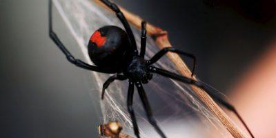 El 50% de las mujeres y el 16% de los hombres sufre de aracnofobia, un miedo irracional a las arañas. Foto:Getty Images
