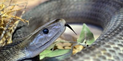 La mamaba negra llamada así por el color del interior de su boca. Es considerada como la serpiente más mortal del mundo, de acuerdo con National Geographic Foto:Vía Flickr