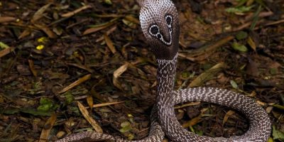 La cobra de anteojos provocar una de las muertes más inmediatas en seres humanos. Foto:Vía wesapiens.org