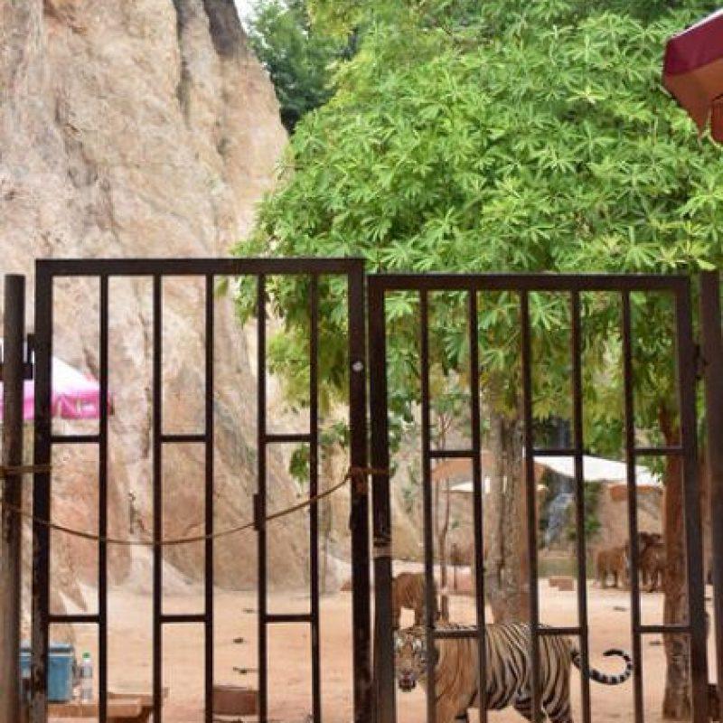 El templo promovía la coexistir en armonía entre humanos y tigres. Foto:AP