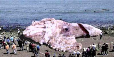 La leyenda puede haberse originado de avistamientos de calamares gigantes reales que estimadamente tendrían de 13 a 15 metros de largo, incluyendo los tentáculos. Foto:Wikicommons
