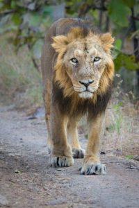Es una pieza muy valorada en los zoológicos Foto:Wikimedia