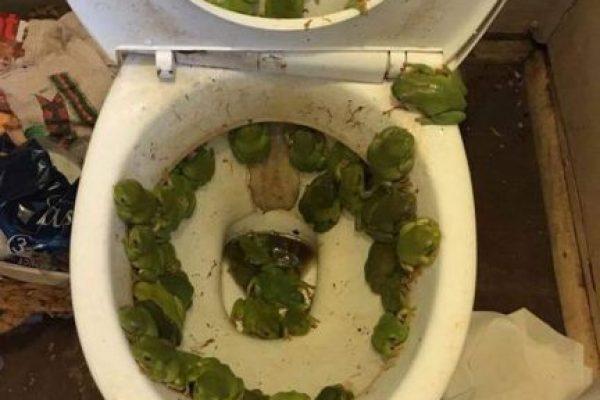 Mujer descubre más de 40 ranas en su retrete