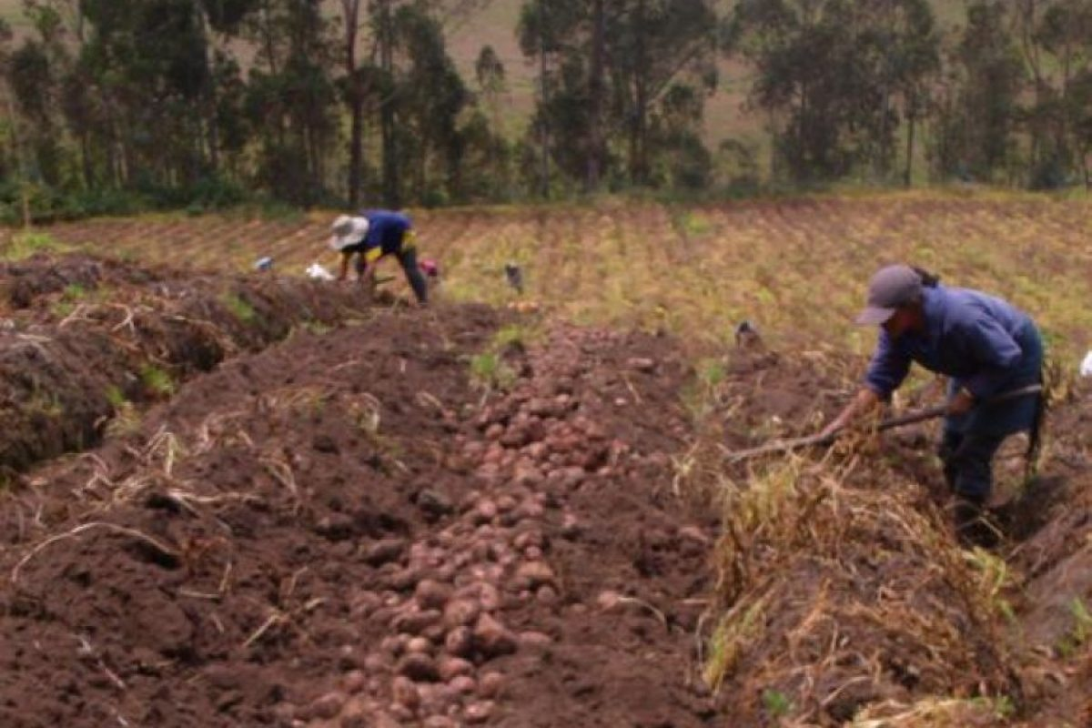 Aproximadamente unos 88 mil agricultores ecuatorianos cultivan decenas de variedades de papa. Foto:Andes