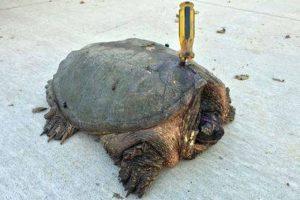 "Así encontraron a ""Tuttle"" Foto:Vía Facebook.com/The-Tuttle-Turtle"