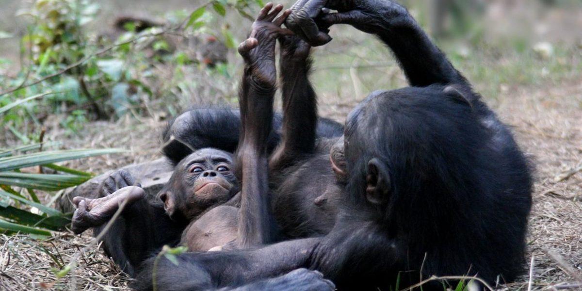 Estudio: Grandes simios tienen la capacidad de leer la mente